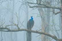 Peacock in the mist