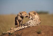 Cats >^.^< Cheetahs / by Debbie Beals