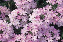 VERBENA   LANTANA / Verbena is a genus in the family Verbenaceae. It contains about 250 species of annual and perennial herbaceous or semi-woody flowering plants.  Lantana is a genus of about 150 species of perennial flowering plants in the verbena family, Verbenaceae.