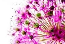 *Allium