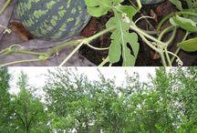 сад  и  огород; бахчевые