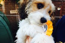 Marley - Our Cavapoo / Pictures of our fluffy little pup