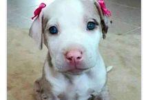 Dogs Pitbulls 1.