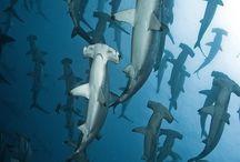 Tiburones & co