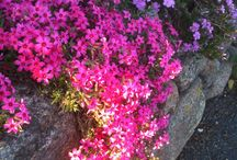 Creeping phlox.memories from home.
