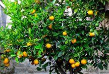 Splendid Citrus