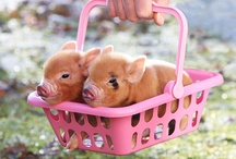 Piggy / Cute Pigs