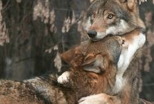 Wolves, Fox, Coyote~Family / Wolves, fox, coyote and other fur family.~