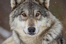 Wolfdog tattoo