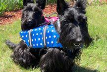 Scotties in my face! / Scottish terriers