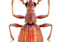 pselaphidae