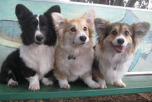 Fluffy corgis / by Lisa Traikoff-Pizzo