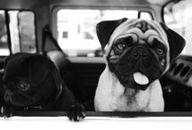 Pugs / My favorite dog in the world... I love my pugs... / by Jerry Slusar