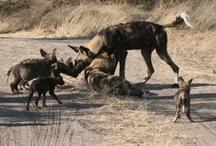 Wild Dogs! / From the December 2012 issue of the Zambezi Traveller - www.zambezitraveller.com