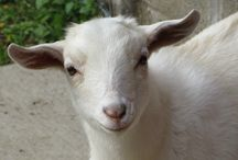 Goats... / We love our goats…plain and simple…they are the best! / by Marianne Barry