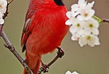 Northern Cardinal / The northern cardinal is a large, long-tailed song bird with a short, thick bill and a prominent crest.