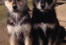 German Husky - Shepsky