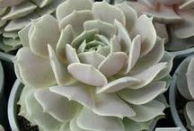 succulents / by Letha Colleen