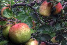 Apel / Apel batu malang