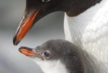 ペンギン【 Penguin】