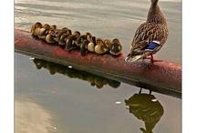 Ducks / by Nancy