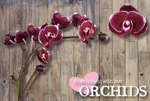 Love Orchids - Phalaenopsis / We offer you a wide range of beautiful cut Phalaenopsis under the name 'Love Orchids'. Dutch grown high quality flowers, which we can deliver to wholesale companies worldwide. Please visit our website www.holex.com and contact us for information about availability and prices!