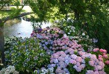 Hydrengea/Hortensia