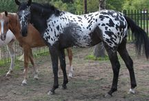 Appaloosa Horses / Anything about Appaloosa Horses, their colour, genetics, breeding and showing.