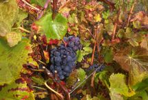 Vineyards / Pictures of Vineyards