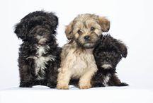 mini poodles mixes