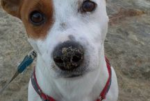 jack rusell pups / I love jrt dogs