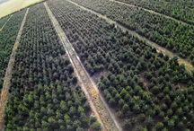 Plantacje AleChoinki