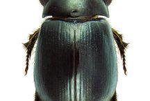 hibosoridae