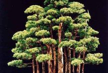 bonsai tuladha