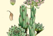 Rysunki kaktusów