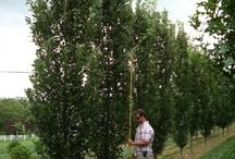 Regal prince columnar oak