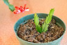 Chrismas Cactus