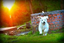 Woody / Golden Retriever Puppy