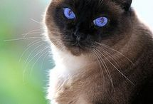 Oriental & Black Cats & a few more beauties / by Diamond Paws