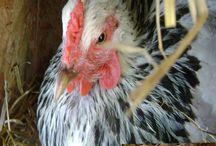 Chicken Keeping in the Garden / Chicken keeping #chickens