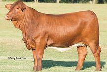 Beefmaster