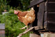 chicken coops