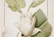 P.J. Redouté / by Société Française d'Illustration Botanique
