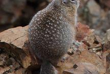 Little marmut