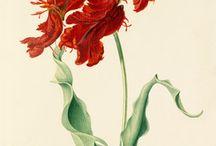 Tulip, tulipány III
