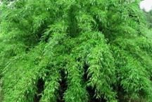 Plants for screening / Ideally evergreen and able to tolerate some shade!