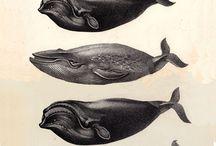 Cetacean illustrations