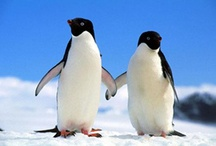 Penguin Love / I am happy to share. Please feel free to pin whatever you like with any caption you please. No daily or other limits! / by Mimmi Penguin