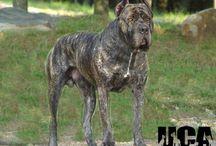 Bandog pes kterého chci