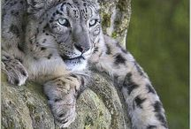 Save Snow Leopards